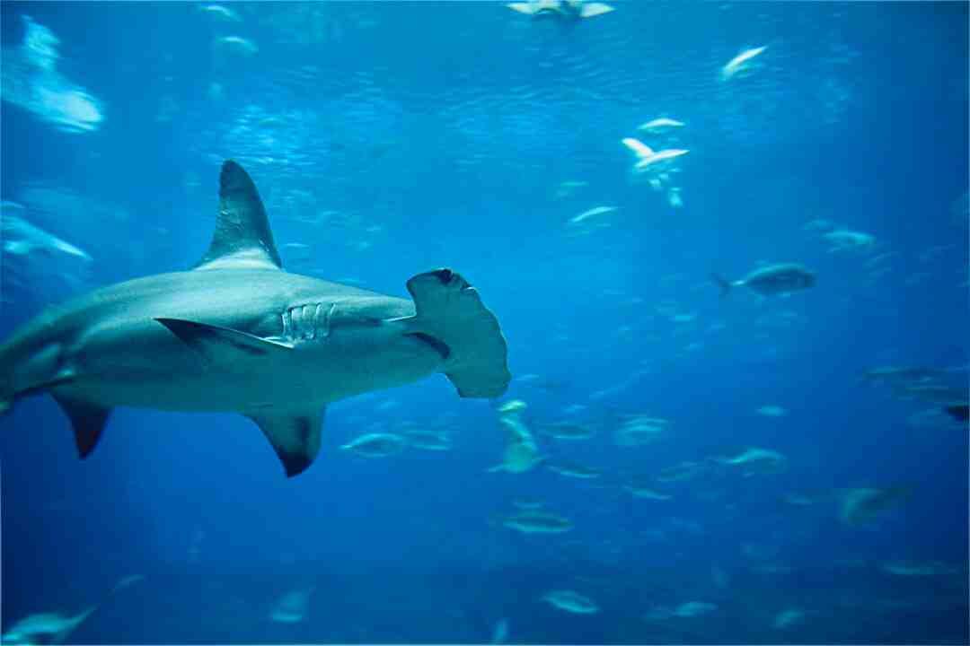 Comment le requin sent le sang ?